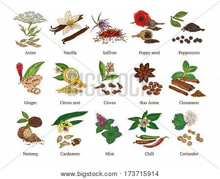 Colorful sketch healthy spices collection with culinary natural botanical herbs isolated vector illustration