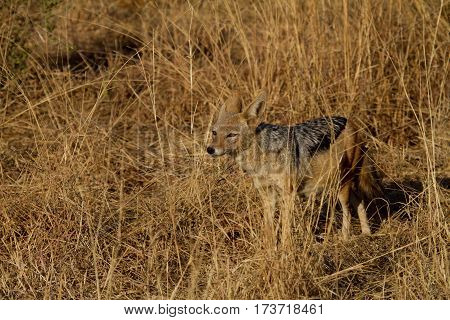 Black Backed Jackal watching a pride of lions after a kill. Waiting for his moment?