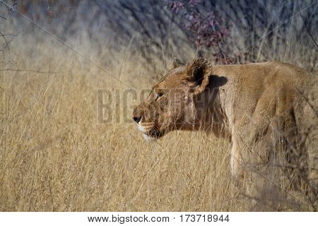 Lion prowling through the grass at Madikwe