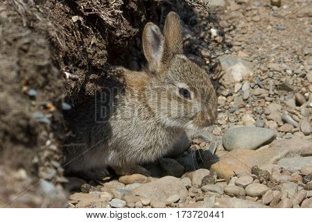 Rabbit emerging from its burrow near the Sound, Isle of Man