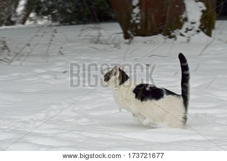 Domestic cat jumping / running in the snow.