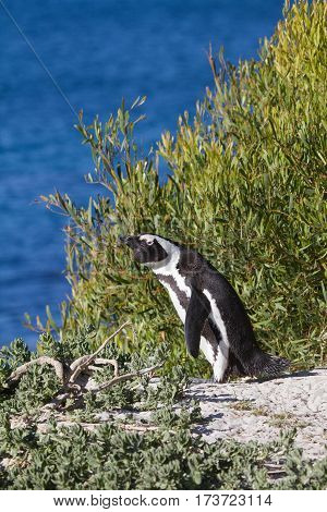 Jackass Penguin looking out over the sea