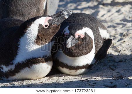 Jackass Penguins on Boulders Beach, South Africa