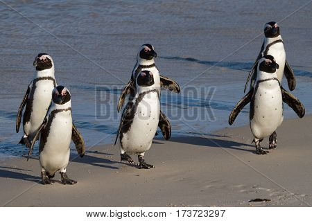 Six Jackass Penguins in formation at Boulders Beach