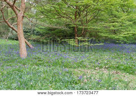 Bluebell woods; masses of bluebells carpeting the forest floor