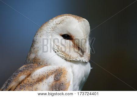 Barn Owl in profile against dark background