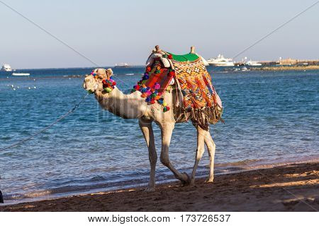 Camel Walking On The Beach