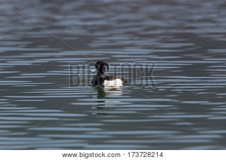 portrait of swimming male tufted duck (Aythya fuligula) with sunlight