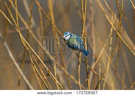 natural blue tit (Parus caeruleus) sitting in thicket