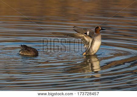 couple of natural common teals (Anas crecca) in evening sun