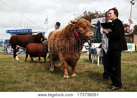 WEEDON, UK - AUGUST 28: One of the bullocks entered in the livestock competition waits to be led around the arena to be judged at the Bucks County show on August 28, 2014 in Weedon