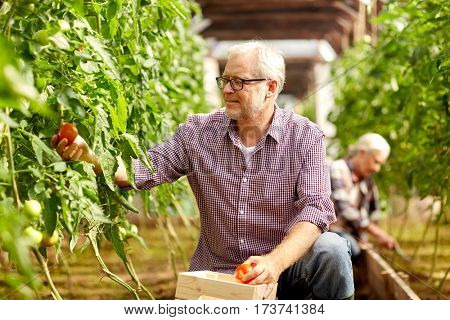 farming, gardening, old age and people concept - senior man with box for vegetables harvesting crop of tomatoes at greenhouse on farm