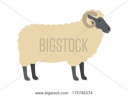 Sheep with horns flat style vector. Domestic animal. Ram with thick wool on white background. Country inhabitant concept. Illustration for farming, animal husbandry, meat and wool production companies.