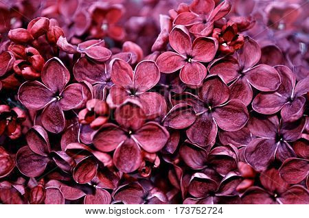 Spring flowers - blooming lilac flowers spring background. Garden with spring red lilac flowers in blossom - spring flowers landscape. Spring blooming flowers - natural spring background
