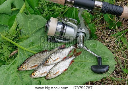 Several Common Rudd Fish On Natural Background. Catching Freshwater Fish And Fishing Rods With Fishi