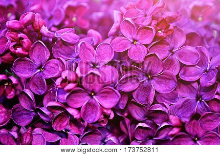 Spring flowers - blooming lilac spring flowers, spring background. Closeup of spring flowers of lilac. Spring flowers -closeup view. Spring flowers in blossom in the garden. Spring flowers background