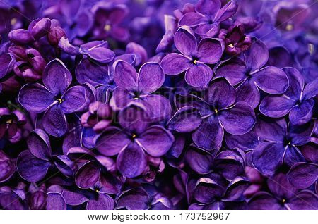 Flowers of blooming lilac. Spring blossom of lilac flowers in the garden - flower spring background. Flowers of lilac - closeup view of blooming lilac flowers