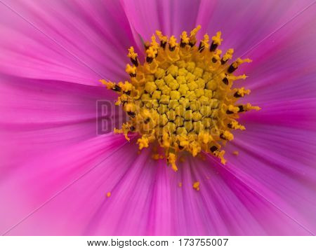 Beautiful cosmos flowers in garden for background. Selective and soft focus blurry.macro cosmos flower