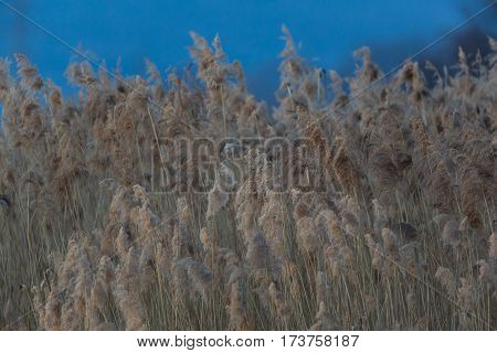 natural reed in winter during dusk nightfall