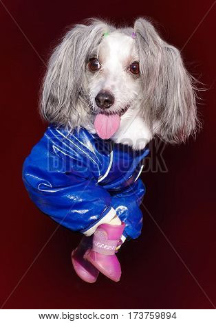 small dog breed Chinese Crested - big fashionista