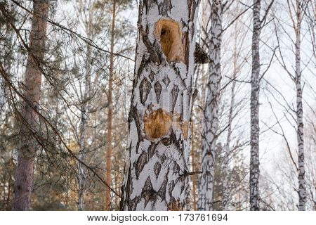 Hollow In A Tree. Winter Forest Birch And Hollow. A Hollow In A Birch. An Opening In The Birch.