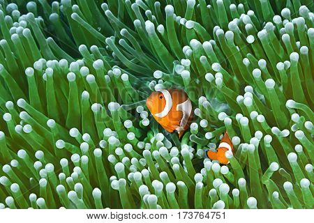 Colorful Clownfish Couple, Amphiprion Ocellaris