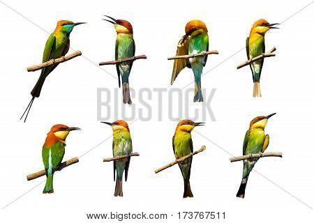 Group of birds on branches on white background. Chestnut-headed Bee-eater (Merops leschenaulti)