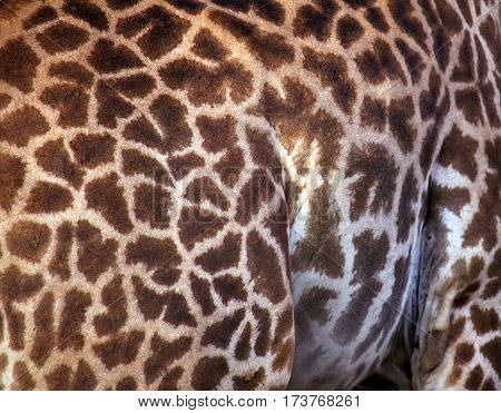 Full screen high resolution shot of a skin of the giraffe. Good for a texture or a background
