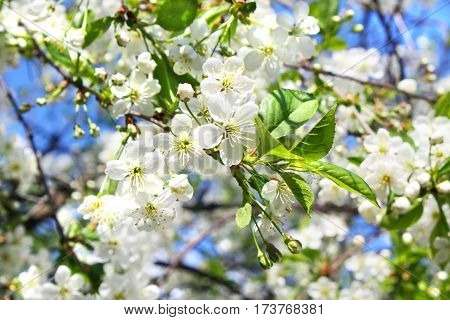 Branches of cherry tree in blossom with flowers on blue sky horizontal view.