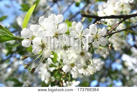 Branch of cherry tree in blossom with flowers on blue sky horizontal view.