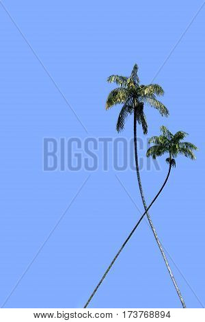 Two coconut tree on a background of blue sky