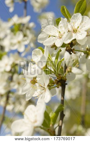 Branch of cherry tree with white flowers on blue sky vertical.