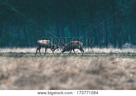 Two Red Deer Stag Fighting With Antlers In Forest Meadow.
