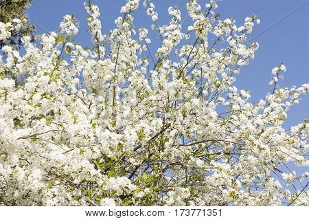 Branches of cherry tree in blossom with white flowers on blue sky.