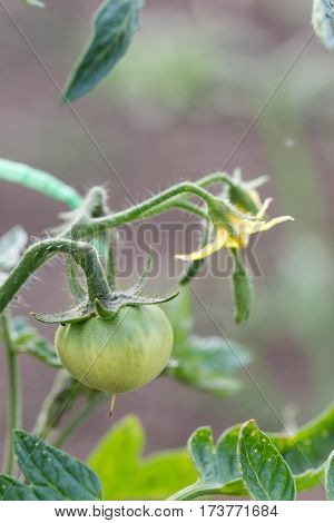 Small Green Tomato Yield On The Stalk