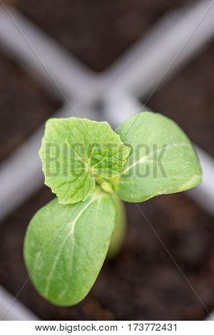 Cucumber Nursery Plant Grean Leaf Macro Closeup