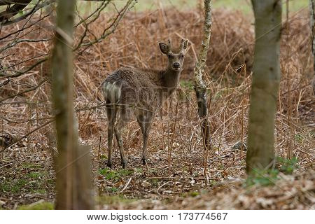 photo of a young Sika deer standing looking in the forest
