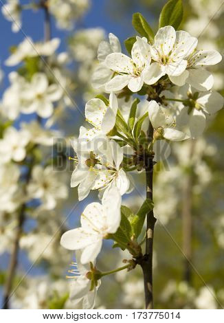 Branch of cherry tree in blossom with white flowers on blue sky vertical.