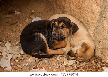 photo of two Indian feral puppies with one asleep and one awake