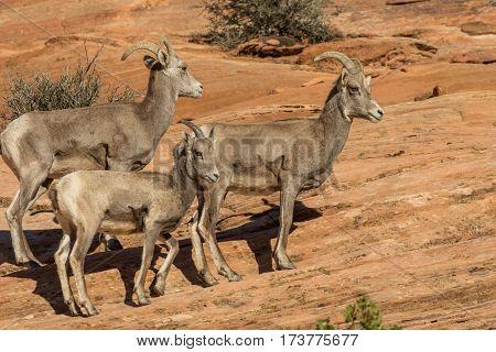 desert bighorn sheep ewes with a lamb