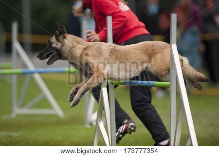 Belgian Shepherd dog in motion at agility. He is jumping over obstacle and is very ready to do next move he is turning in the air. Very well prepared dog for competition.