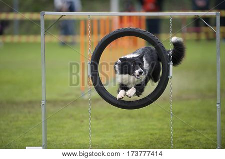 Proud dog - agility jump. Cute Border Collie in agility competition jumping through obstacle on stand.