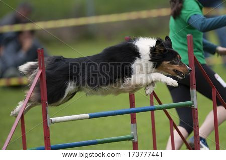 Dog jumping over double hurdle. It is very nice team work with his handler. He has elegant healthy body.