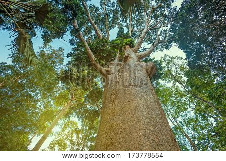 Trunk of kauri or dammar tree Agathis Robusta or Paw of Elephant. Picturesque jungle scene