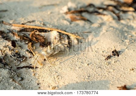 Small maldivian crab on the white beach