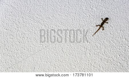 Small gecko climbing on the white wall