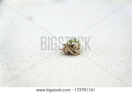 tiny hermit crab travelling around the beach