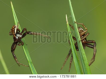 Two Neighbors Spiders
