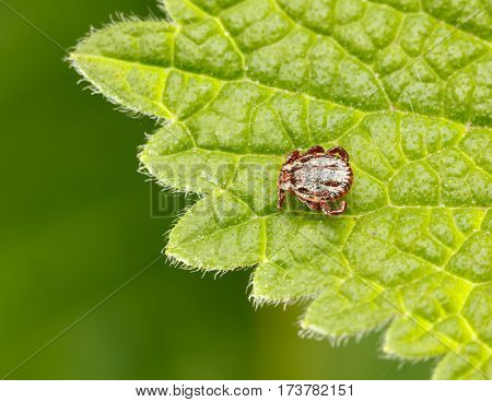 Meadow Tick On Leaf