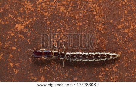 Orange Rove Beetle